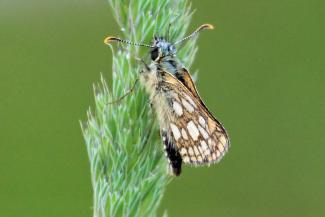 A Chequered Skipper butterfly at Ariundle