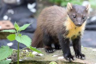 Close Encounters with Pine Martens